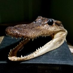 real alligator head, baby alligator, oddities, curiosities, weird creepy