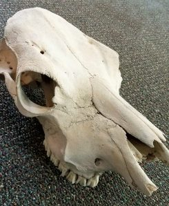 weathered cow skull, real skull, bone, oddities for sale