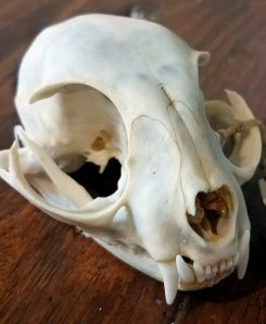 Domestic-Cat-Skull-For-Sale-Oddities-Real-Cat-Skull