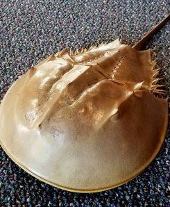 Large-Horseshoe-Crab-Shell-Sea life Specimen