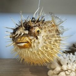 Puffer-Fish-Taxidermy-Oddities-For-Sale