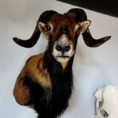 Sheep-Taxidermy-Corsican-Sheep-Mount