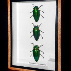 3 Framed Green Beetles Jewel Beetle Specimens
