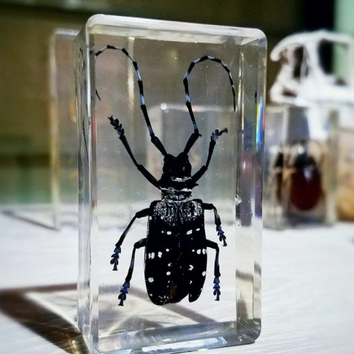 Asain Longhorn Beetle Resin Insect Lucite
