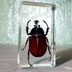 Beetle in Acrylic Unicorn Beetle Rhinoceros Beetle Resin