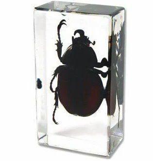 Beetle in Acrylic Unicorn Beetle Rhinoceros Beetle Resin