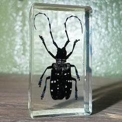 Blue-Spotted-Long-Horn-Beetle-Acrylic