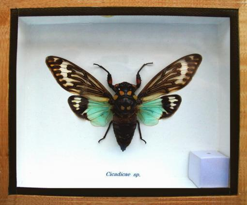 Blue Wing Cicada Framed Shadow Box Locust Insect