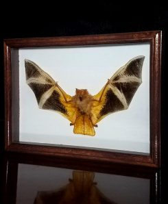 Framed Fire Bat Real Bat Shadow Box