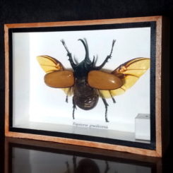 Horned Rhinoceros Beetle Framed Horned Beetle