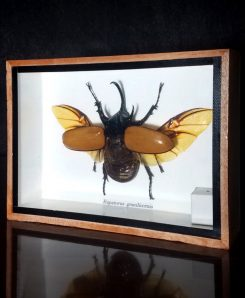 Horned Rhinoceros Beetle Framed Horned Beetle