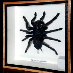 Large-Spider-Giant-Tarantula-Framed-Shadow-Box