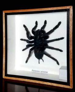 Large-Spider-Giant-Tarantula-Framed-Shadow-Box