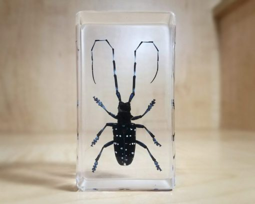 Asian Longhorn Beetle in Resin, Specimens in Lucite, Real Beetle