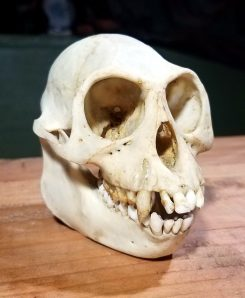Macaque Monkey Skull for sale