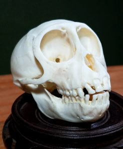 Real Monkey Skull for sale. Macaque Monkey Skull