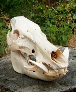 Real Boar Skull Large Tusk Real Animal Skulls