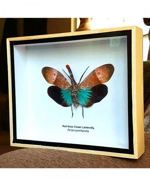 Red Nose Lanternfly framed insect shadow box