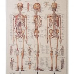 Vintage medical poster Skeletal System