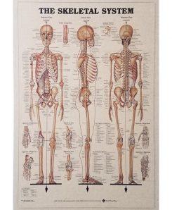 Vintage medical poster Skeletal System