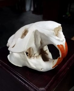 Large Beaver Skull for sale Oddity Shop Animal Skulls Bones