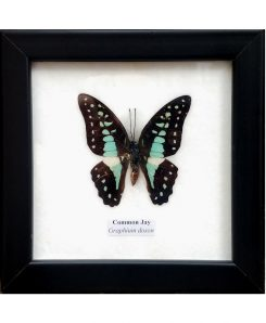 Framed-Butterfly-Common-Jay-Graphium-Doson