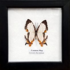 Framed-Butterfly-Common-Map-Cyrestis-Thyodamas-Insect Specimens Oregon Oddity Store