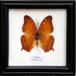 Framed-Butterfly-Cruiser-Vagrans-Erota