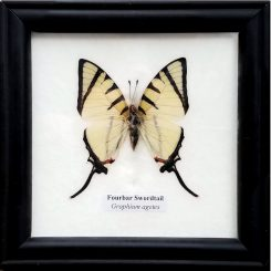 Framed-Butterfly-Fourbar-Swordtail-Graphium-Agetes-Oddity-Store-Oregon-Grants-Pass-Insect-Specimens