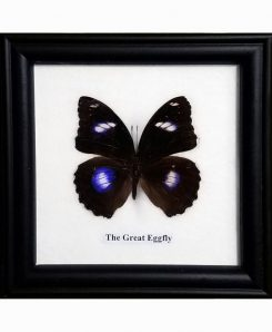Framed-Butterfly-Great-Eggfly-Hypolimnas-Bolina