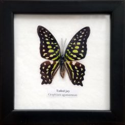 Framed-Butterfly-Tailed-Jay-Graphium-Agamemnon-Insect-Specimen-Oddity-Store-Oregon