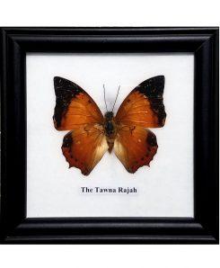 Framed-Butterfly-Tawna-Rajah