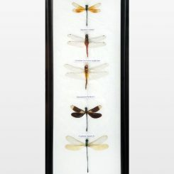 Framed Dragonfly Set Dragonfly Specimens