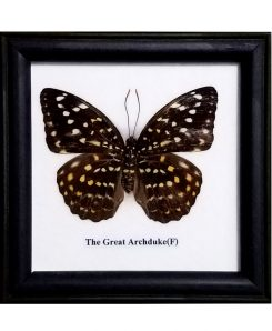 Real-Framed-Butterfly-Great-Archduke-Lexias