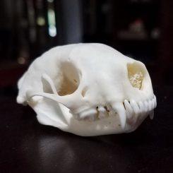 Real Skunk Skull for sale. Animal skulls taxidermy oddities, curiosities.
