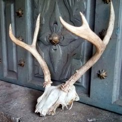 White Tail Deer Skull Car Oddity Store Oregon Grants Pass Real Skulls