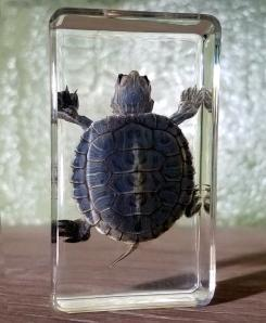 Real-Turtle-Resin-Baby-Turtle-Lucite
