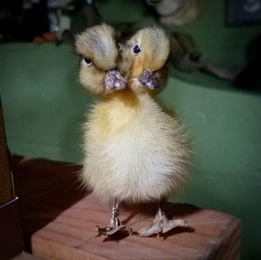 2 headed duck for sale, freak taxidermy, oddities