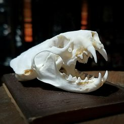 Skulls for sale, Real Mink Skull, Real Animal Skulls, Oddities, Curiosities