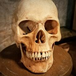 Real Human Skull For Sale, Replica, Realistic Skull