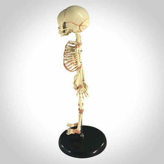 Fetal Skeleton, Life Size Human Fetus Skeleton, Anitomical Skeleton,  Oddities, Curiosities