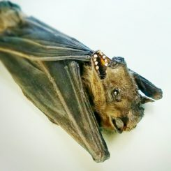 Large Taxidermy Bat, Oddities, Curiosities, Creepy, Rousettus leschenaulti