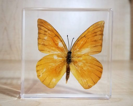 Appias Nero Orange Butterfly In Resin, Insects in Resin Butterflies, Lucite