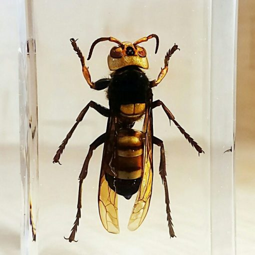 Asian Giant Hornet in Resin, Huge Wasp, Insects in Resin
