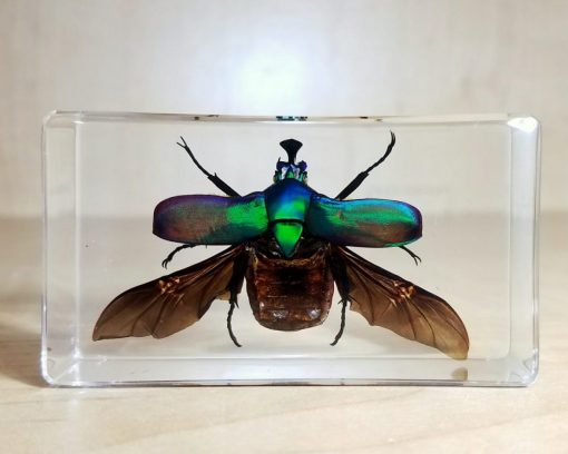 Rose Chafer Beetle Wings Open in Resin, Beetle Lucite, Insect Specimens