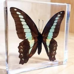 Blue Bottle Butterfly In Resin, Insects in Resin Butterflies