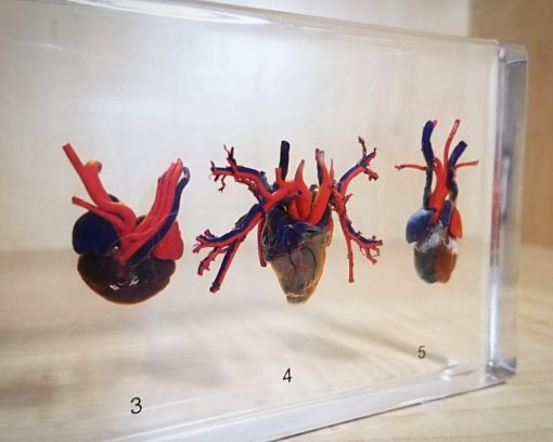Real Heart Specimen, Comparative Hearts, Resin, Oddities, Curiosities