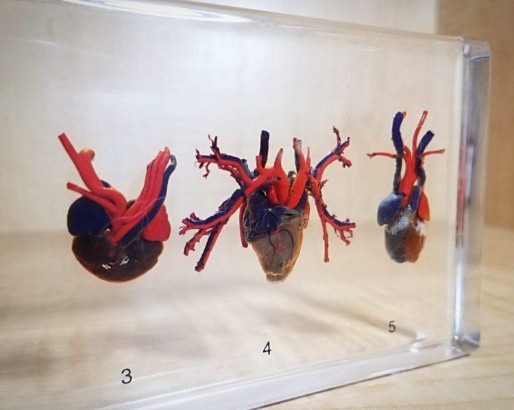 Real Heart Specimen, Comparative Hearts, Resin, Oddities, Curiosities