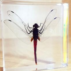 Real Dragonfly In Resin, Dragonfly Display, Lucite, Insects in Resin