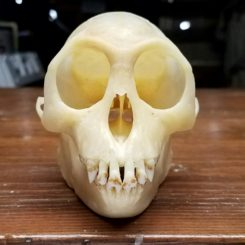 Real Monkey Skull For Sale